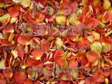Candy Corn Freeze Dried Petals